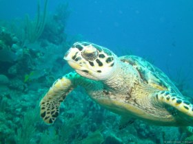 Cool turtle - This is the turtle picture I put on my wall at home. It is from a trip to Little Cayman in 2014.