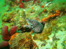 Happiest eel - That is the happiest looking spotted moray eel I have ever seen. I took this picture while diving reefs off the coast of Boynton Beach, FL, in 2016.