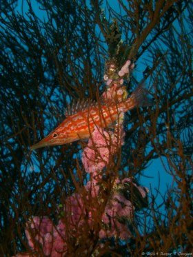 Longnose Hawkfish - I found this little fish trying to blend in with the coral in Fiji in 2015.