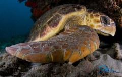 Juno Beach Loggerhead Turtle