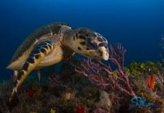 Jupiter Reef Hawksbill Turtle