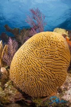 Key Largo Brain Coral