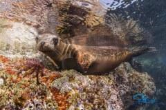 La Paz Sea Lion