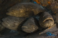 MG111 Wreck Goliath Groupers
