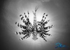 West Palm Beach Lionfish Silhouette