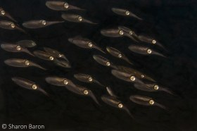 Night Squid School. © Sharon Baron, All Rights Reserved.