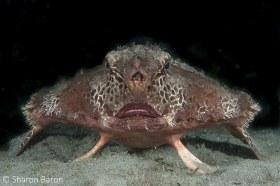 Polka-Dot Batfish. © Sharon Baron, All Rights Reserved.
