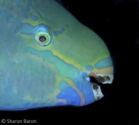 Queen Parrotfish. © Sharon Baron, All Rights Reserved.