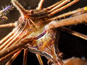 Mating Arrow Crabs