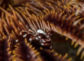 Crinoid Squat Lobster