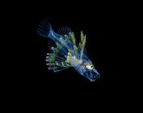 Larval Lionfish