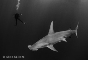 Hammerhead and diver, Bahamas.