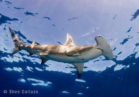Hammerhead Shark, Bahamas.