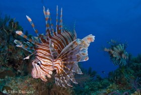 Lionfish, Bahamas.