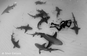 Lemon Sharks and Diver, Bahamas.