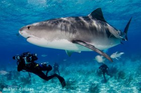 """Tiger Shark named """"TC"""" with Jim Abernethy in the background, Bahamas."""