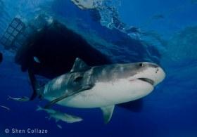 "Tiger Shark ""TC"" under the M/V Shear Water, Bahamas."