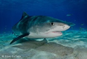 Tiger Shark, Bahamas.