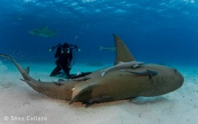 Lemon Shark scratching on the sand, Bahamas.