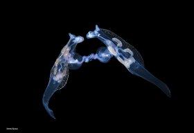 Mating pelagic Nudibranchs, Phylliroe bucephala.  Blackwater dive, Palm Beach, Florida.