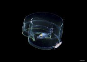 Larval Moray Eel, leptochephalus. Blackwater dive, Anilao, Philippines.