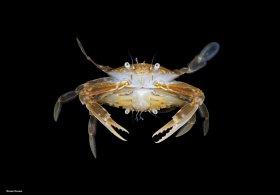 Mating Sargassum crabs, blackwater dive, Palm Beach, Florida