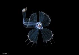 Snaketooth Swallower, blackwater dive, Palm Beach, Florida