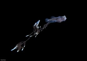 Gibberfish larva, blackwater dive, Palm Beach, Florida