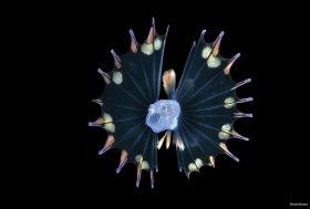 Tripodfish larva, blackwater dive, Palm Beach, Florida