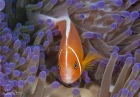 Anemone Fish. Fiji
