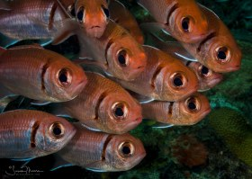 Black-barred Soldier Fish, St. Vincent.