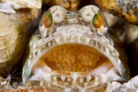 Male Dusky Jawfish incubating newly laid eggs. Lake Worth Lagoon, Florida. © Susan Mears, All Rights Reserved.