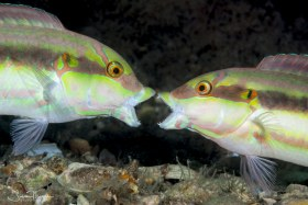 Slippery Dick Wrasses in territorial display. Lake Worth Lagoon, Florida. © Susan Mears, All Rights Reserved.