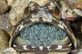 Male Banded Jawfish brooding eggs