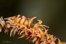 Zanzibar Whip Coral Shrimp, Ambon, Indonesia. © Susan Mears, All Rights Reserved.