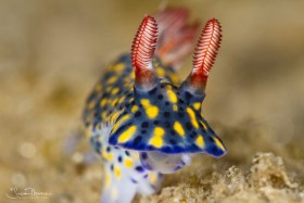 Colorful Hypselodoris (Hypselodoris infucata), Ambon, Indonesia. © Susan Mears, All Rights Reserved.