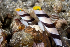 Yellownose Shrimpgoby, Ambon, Indonesia. © Susan Mears, All Rights Reserved.
