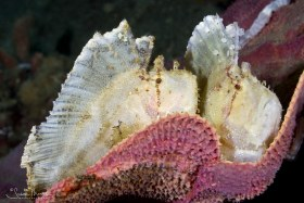 Leaf Scorpionfish Pair, Ambon, Indonesia. © Susan Mears, All Rights Reserved.
