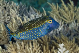 Spotted Boxfish. Apo, Philippines. © Susan Mears, All Rights Reserved.