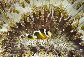 Anemone Fish. Puerto Gallera, Philippines.