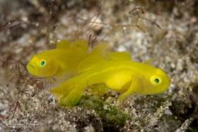 Yellow Goby pair. Anilao, Philippines.