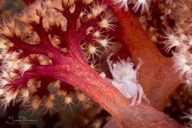 Soft Coral Porcelain Crab filter feeding. Anilao, Philippines.