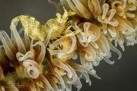 Wire Coral Shrimp. Anilao, Philippines.