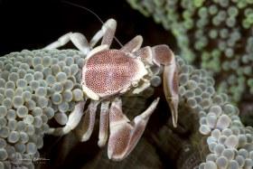 Porcelain Crab. Anilao, Philippines.