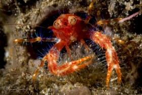 Bug-eyed Squat Lobster. Anilao, Philippines.