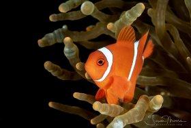 Anemone Fish.   Lembeh, Indonesia