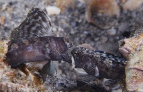 Two sailfin blennies fight for mating rights, West Palm Beach. © Suzan Meldonian, All Rights Reserved.
