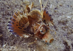 Juvenile Sea Robin, spotted by my dive buddy, Judy Townsend (alias eagle eyes). © Suzan Meldonian, All Rights Reserved.