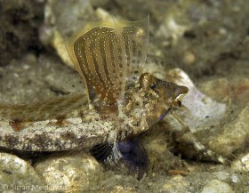 Lancer's Dragonet, male displaying. These fellows fan their dorsal fin which has an ornate design on it. © Suzan Meldonian, All Rights Reserved.