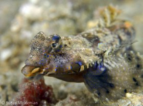 Lancer's Dragonet, male displaying. These fellows are very difficult to see as their colors camouflage them nicely in the rubble. But when its mating season, they flash these amazing cobalt blue colors. © Suzan Meldonian, All Rights Reserved.